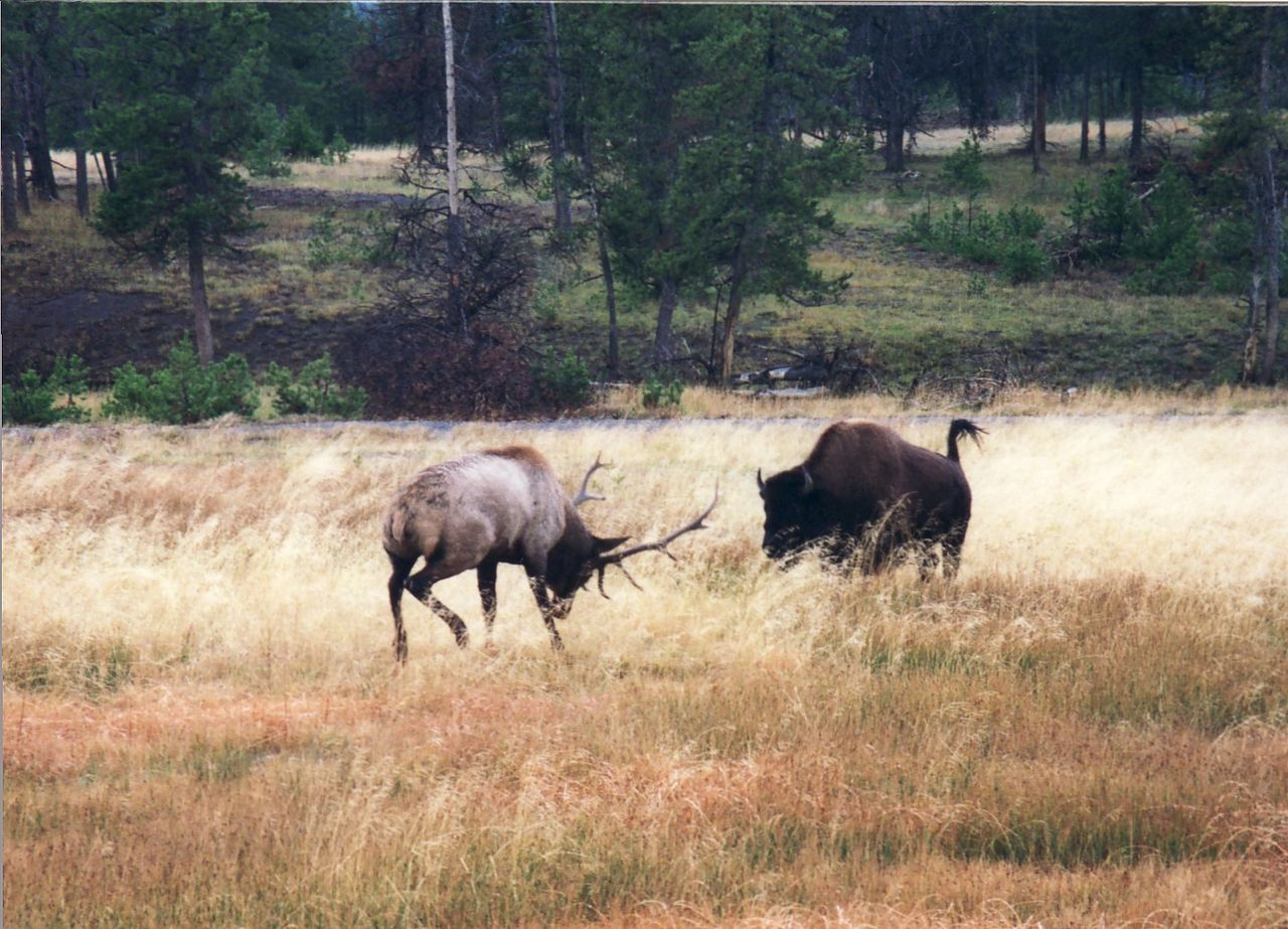 American bison charges Elk near old faithful