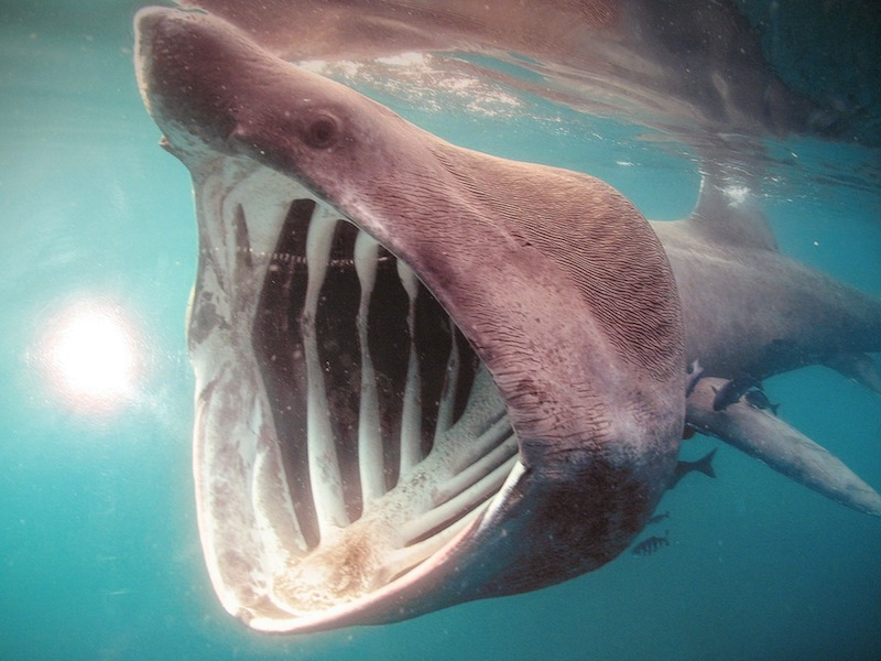 A basking shark feeding with its mouth open