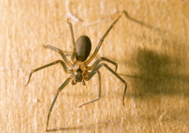 The Brown Recluse spider, with her violin marking