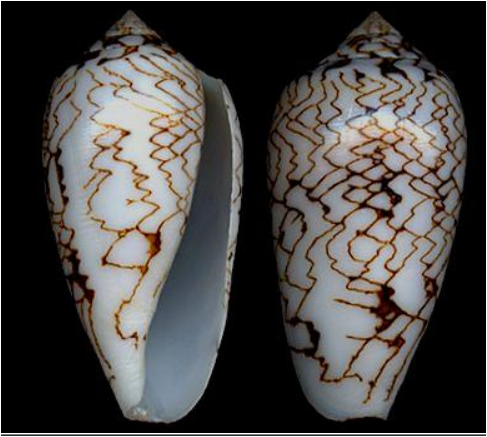 Shell of the Textile Cone Snail