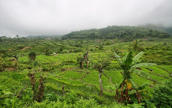 Bright green rice fields n the way to Pink Beach