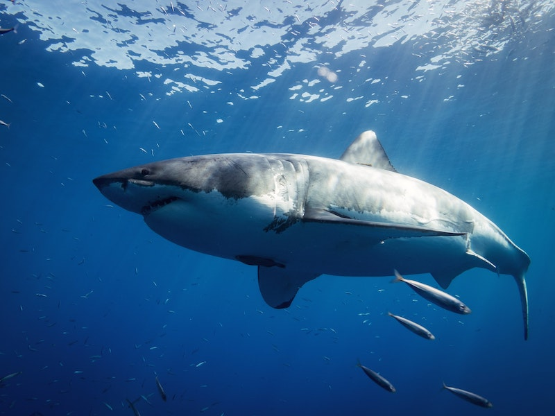 A great white shark is the most notorious of sharks in the Atlantic Ocean