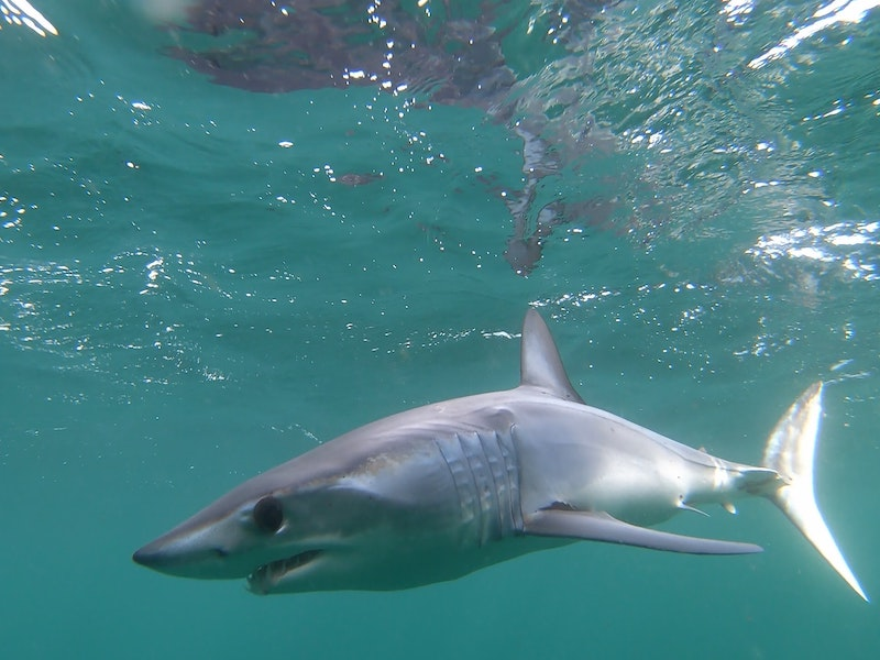 The fastest sharks in the Atlantic Ocean are the Mako sharks