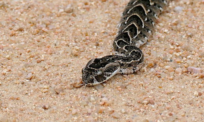 Puff adder snake, a dangerous animal in Morocco