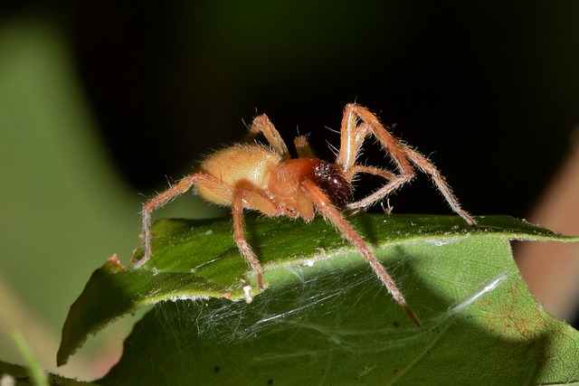 The Yellow Sac Spider, one of the spiders in Thailand