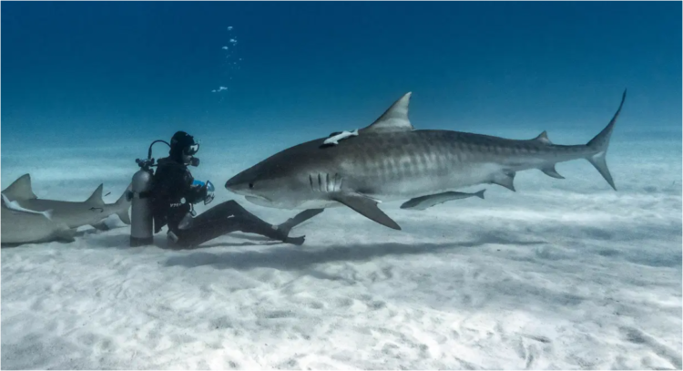 Diver sitting on sea bed with Tiger Shark
