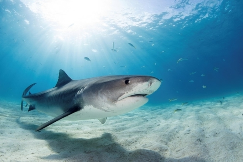 Tiger shark swimming in the ocean, these sharks can be found in Costa Rica