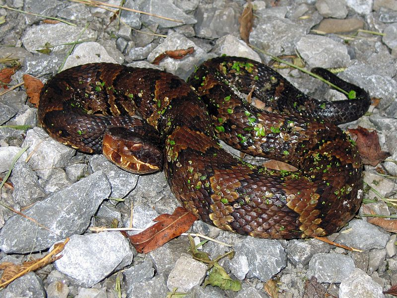 Western cottonmouth