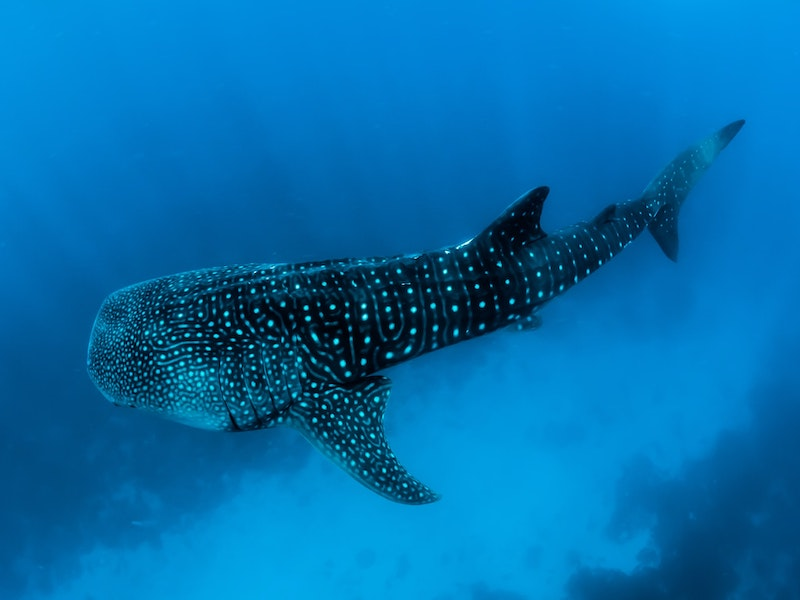 The largest sharks in the Atlantic Ocean are the whale sharks