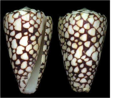 Shell of the Banded Marble Cone Snail