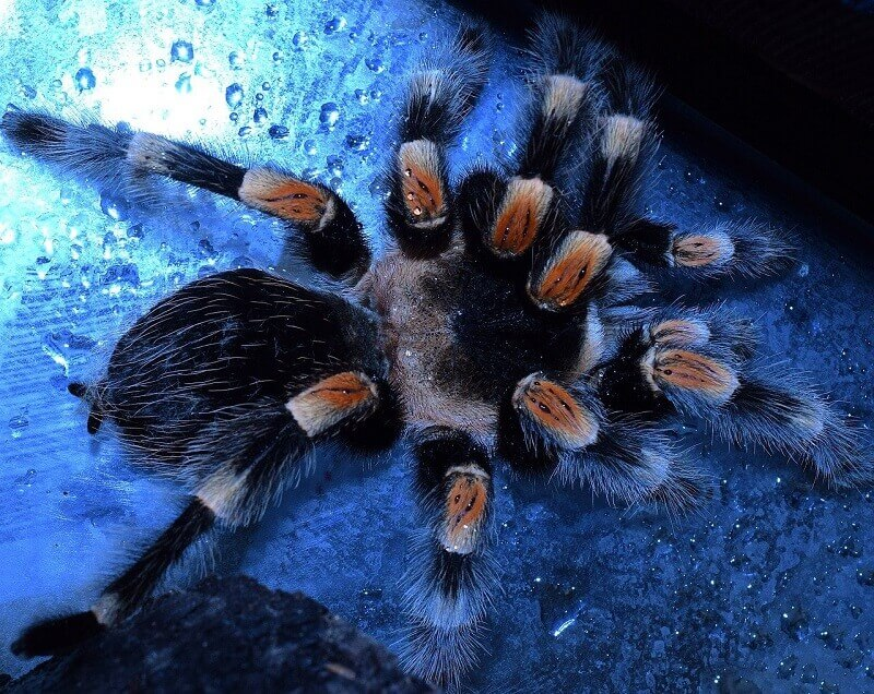 Most dangerous animal in China? The Bird Spider