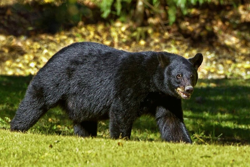 Black Bear - dangerous animals in Tennessee