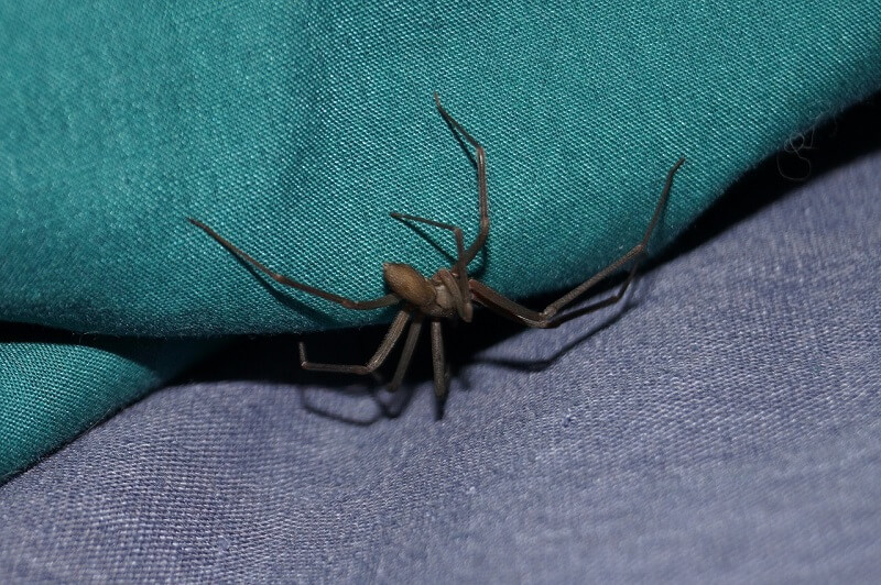 Brown Recluse Spider - dangerous animals in Tennessee