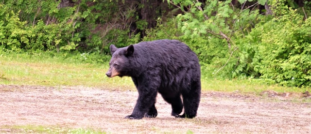 Black Bear in nature reserve