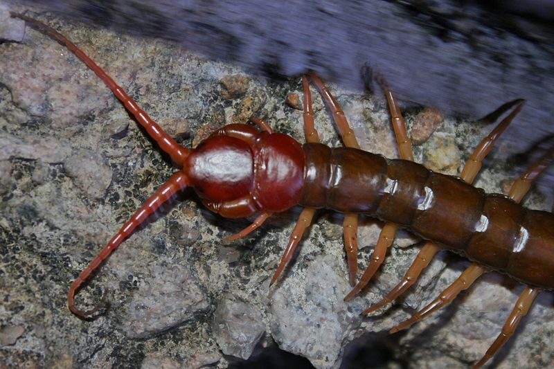 Chinese Red Headed Centipede