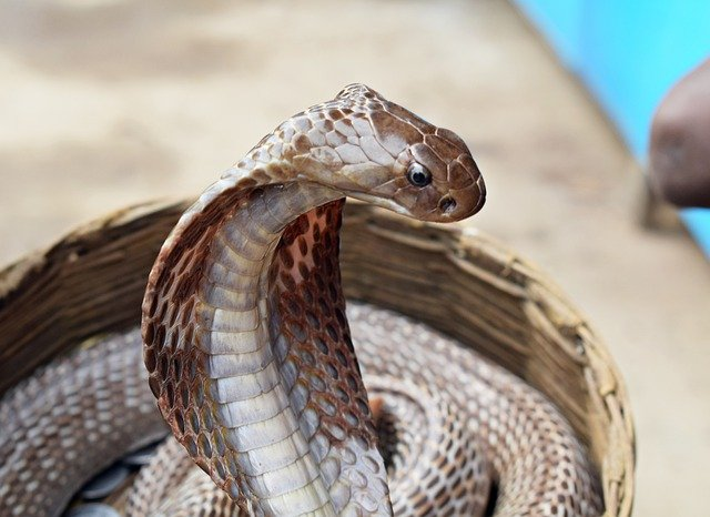 The 7 Most Deadly Snakes in India: The Bad & The Venomous