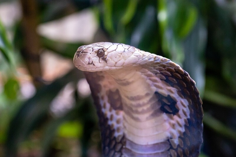 One of the most recognizable dangerous animals - the Cobra