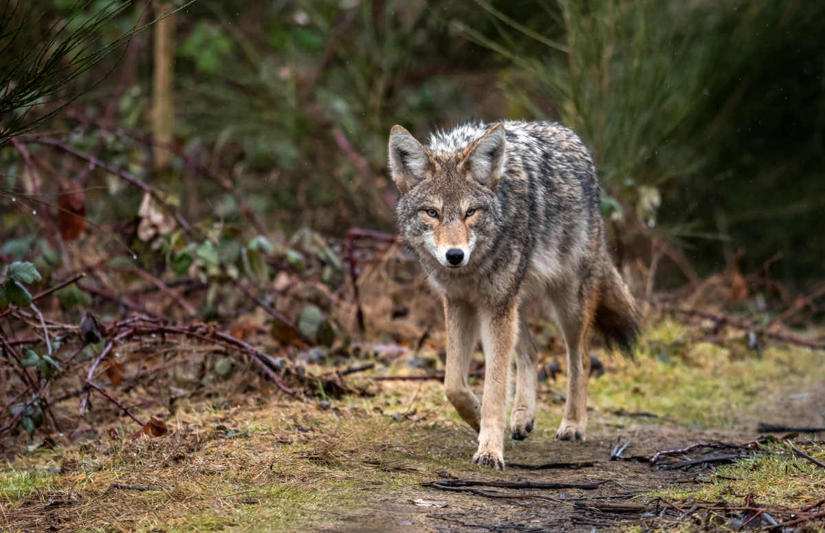 Coyote in the wilderness