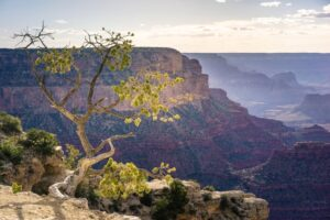 Tree on edge of Grand Canyon