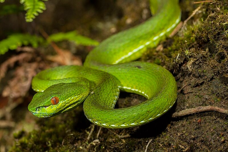 One of the most dangerous animals in China - the Chinese Green Tree Viper