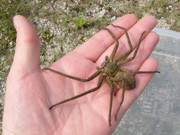 The Huntsman, one of the largest spiders in Thailand