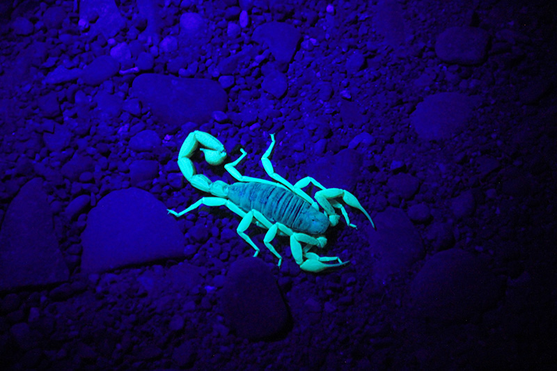 scorpion on sandy ground - one of common dangerous animals in Morocco