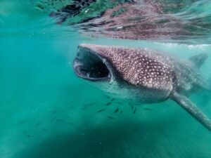 Whale shark swimming underwater - best beaches in La Paz, Mexico