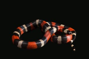 Milk snake - snakes in Mexico