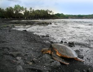 sea turtle at black sand beach