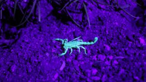 Bark Scorpion in Infra red light