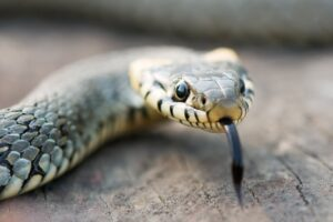 Snakes in Mexico - snake face close up