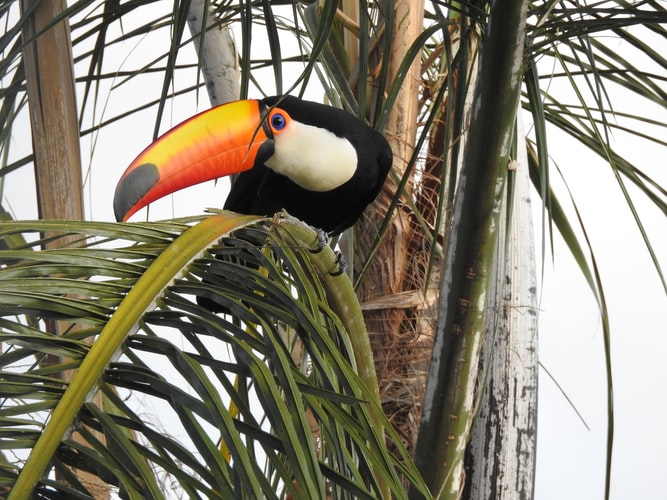 A brightly colored toucan perched in a palm tree